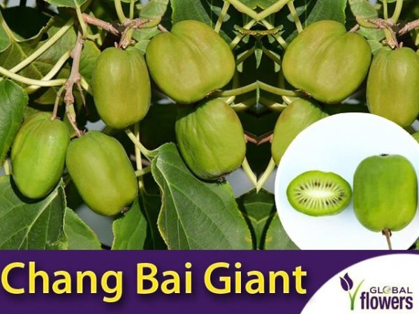 actinidia chang bai giant