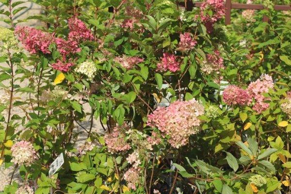 Wybarwiające się kwiaty hortensji
