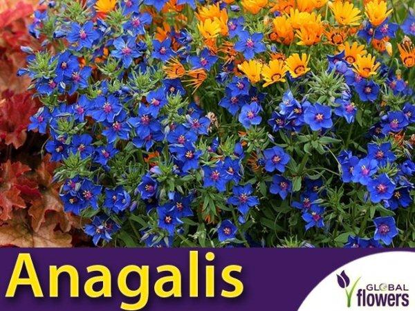 Anagalis, Kurzyślad (Anagallis grandiflora) 0,1g