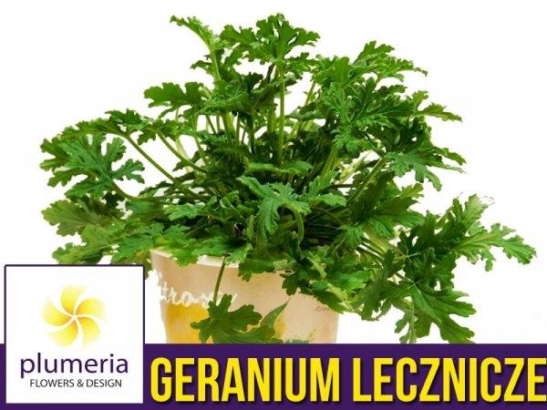 geranium lecznicze anginka właściwości na co stosować geranium