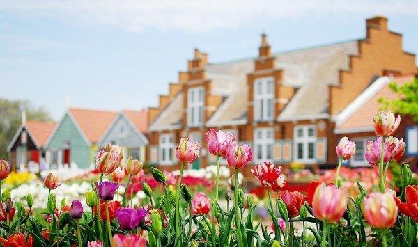 pełne tulipany jak piwonie cebule