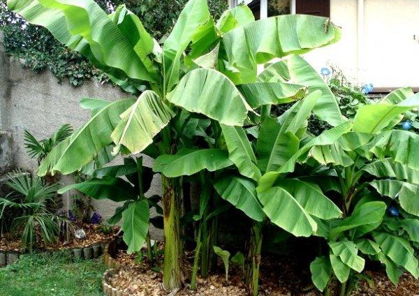 Bananowiec sadzonka drzewa
