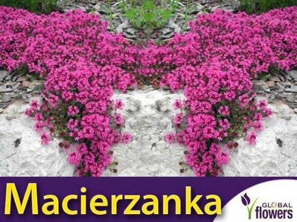 Macierzanka piaskowa Sadzonka (Thymus serpyllum) lilaróżowa