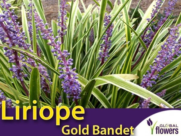 Liriope Szafirkowa (Liriope muscari) 'Gold Banded' sadzonka