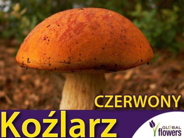 Grzybnia Koźlarz czerwony Leccinum aurantiacum ziarno 10g