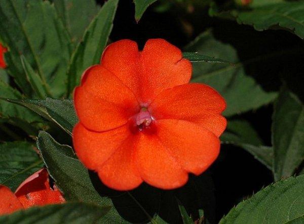 niecierpki kwiaty rabatowe i ogrodowe