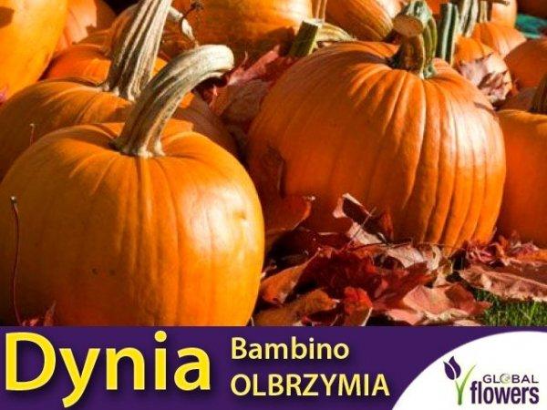 dynia bambino nasiona dla rolników 500g