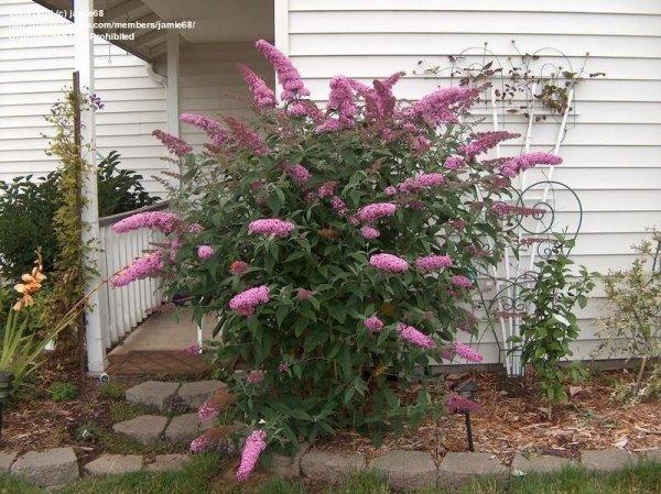 Budleja o różowych kwiatach