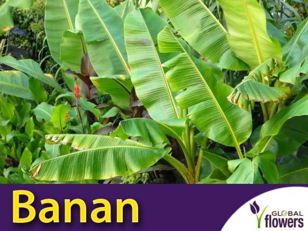 Banan (Musa Velutina) 5 nasion