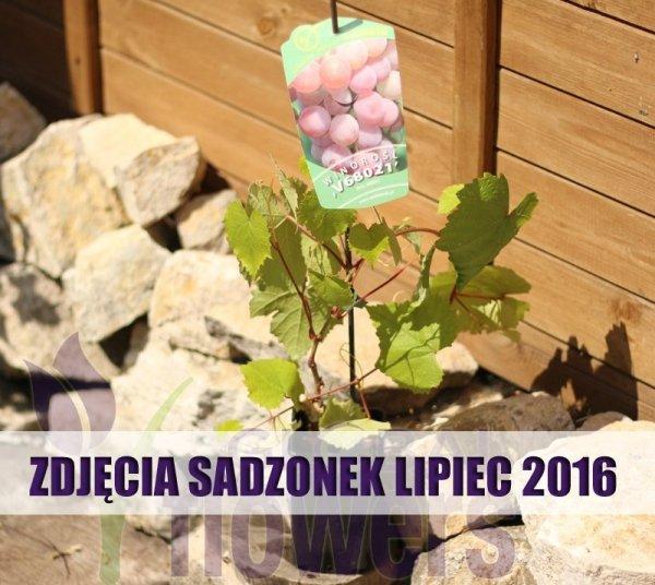 Winorośl  sadzonki cena