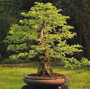Styrax japonicum