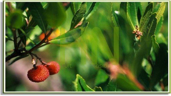Oryginalne drzewko truskawkowe