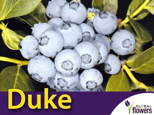 Borówka Amerykańska Sadzonka - odmiana Duke