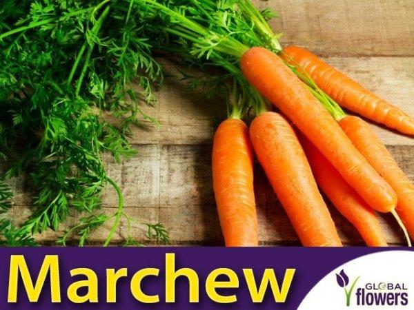Marchew Amsterdam 2 Wczesna (Daucus carota) XL 100g