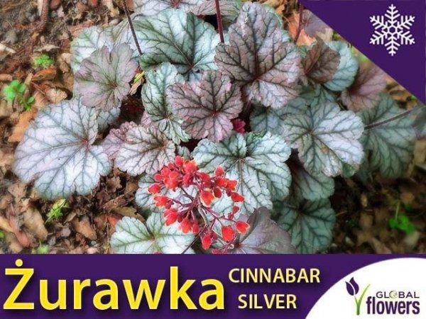 Żurawka 'Cinnabar Silver'  sadzonka