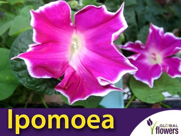 Wilec Red Picotee (Ipomoea) nasiona
