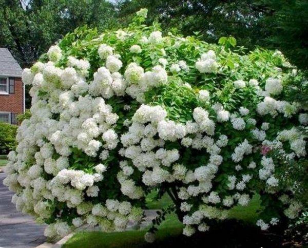 Hydrangea paniculata Sadzonka