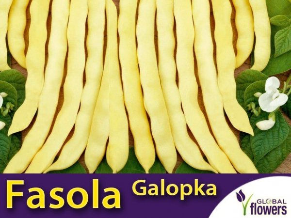 Fasola szparagowa karłowa żółtostrąkowa Galopka płaska (Phaseolus vulgaris)