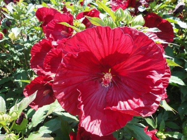 Hibiskus pielęgnacja i sadzenie
