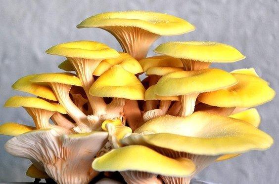 Boczniak cytrynowy uprawa domowa