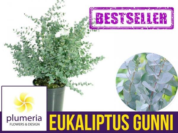 Eukaliptus Niebieski (Eukaliptus Gunni) 5 letnia Sadzonka C7,5