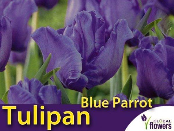 Tulipan Papuzi 'Blue Parrot' (Tulipa) CEBULKI