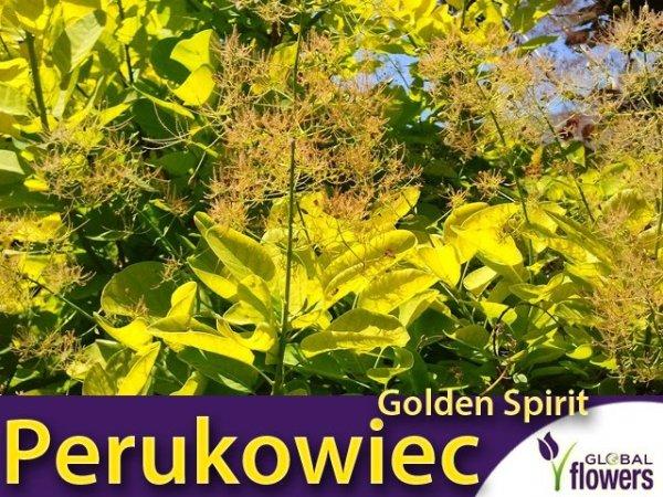 Perukowiec 'Golden Spirit' (Cotinus coggygria) Sadzonka