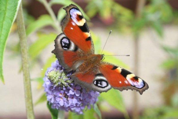 Motyli krzew uprawa