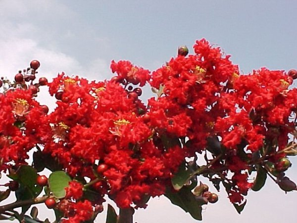 Lagerstroemia Red Imperator kwiaty