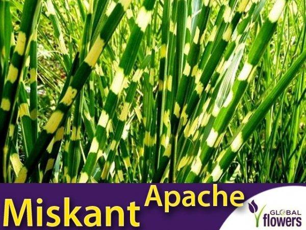 Miskant 'Apache' (Miscanthus sinensis) Paskowana trawa Sadzonka