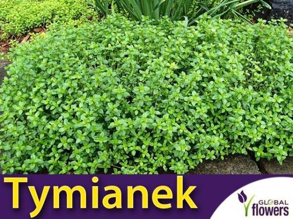 Tymianek cytrynowy (Thymus citriodorus) Sadzonka