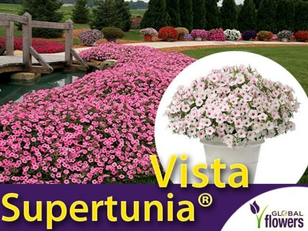 Supertunia® Vista 'Silverberry' Sadzonka