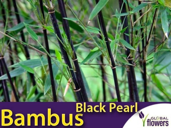 Bambus Mrozoodporny BLACK PEARL