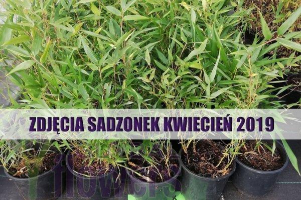bambusy do uprawy w Polsce