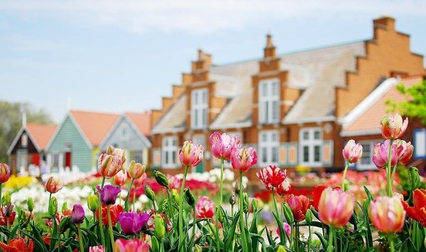 Pole tulipanów 'Professor Röntgen'