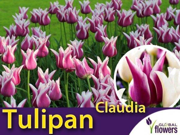 Tulipan liliokształtny 'Claudia' (Tulipa) CEBULKI