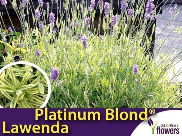 Lawenda 'Platinum Blond' (Lavandula angustifolia 'Momparler') Sadzonka