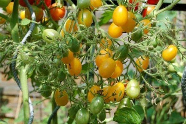 Smaczny pomidor gruszkowy żółty
