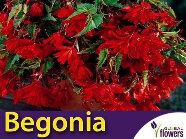 Begonia zwisająca czerwona CEBULKA uprawa