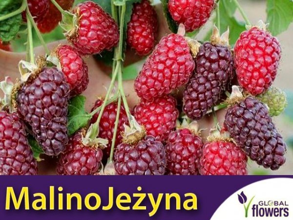 MalinoJeżyna bezkolcowa 'Loganberry (Rubus fruticosus x idaeus) Sadzonka