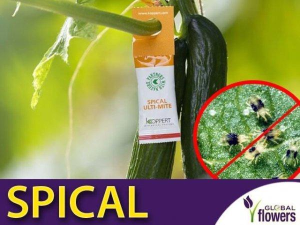 SPICAL Ulti-Mite ekologicznie i tanio zwalcza przędziorka