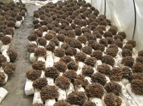 Maitake grzybnia na kołkach 20szt kołków NOWOŚĆ