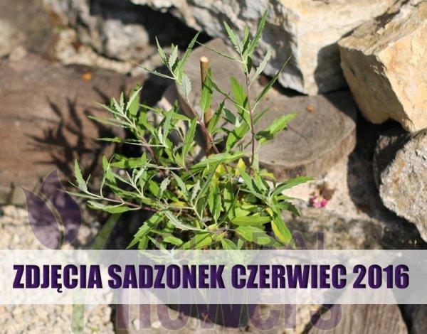 Caryopteris clandonensis uprawa