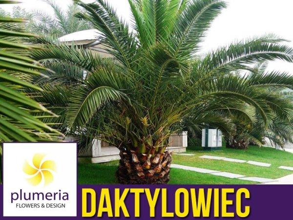 Daktylowiec kanaryjski palma cena
