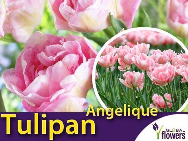 Tulipan Pełny 'Angelique' (Tulipa Angelique) CEBULKI