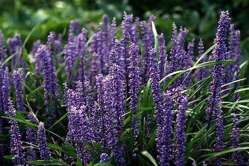 Odmiany liriope, fioletowe kwiaty
