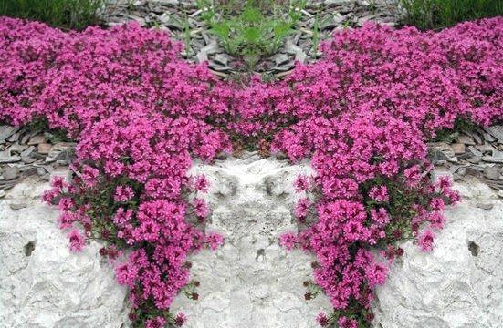 macierzanka piaskowa uprawa, kwitnienie