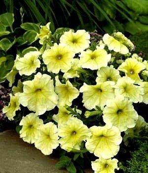 Petunia ogrodowa Kaskada żółta
