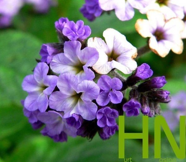 Niebiesko- fioletowe kwiaty heliotropu