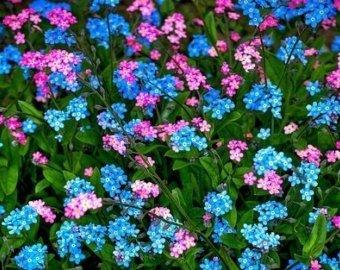Niezapominajka alpejska , kolorowe kwiaty